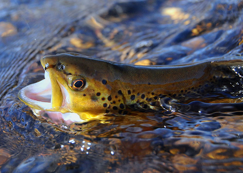 Five tips for fishing in the smoky mountains for Smoky mountain trout fishing
